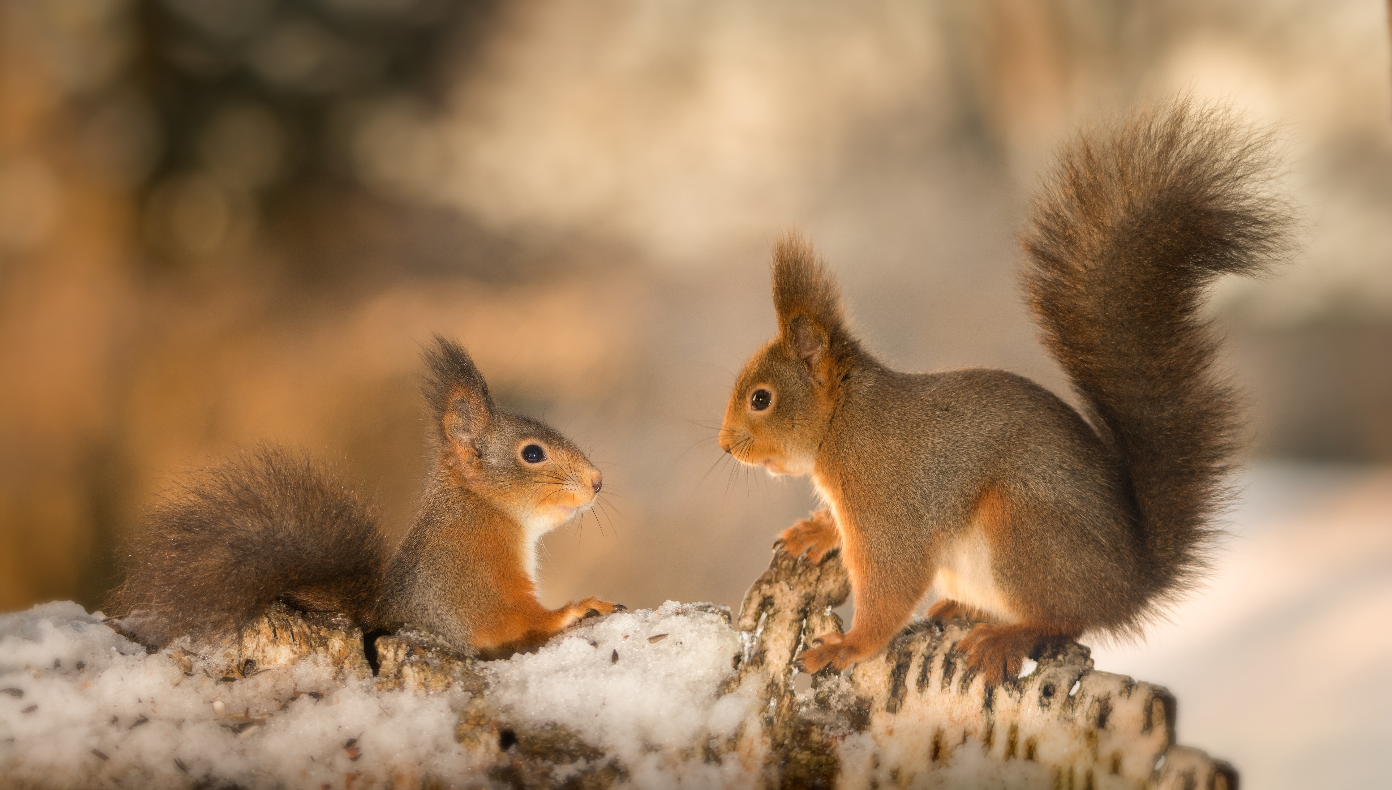 Stock photo of squirrels having a conversation to illustrate good supply chain etiquette.